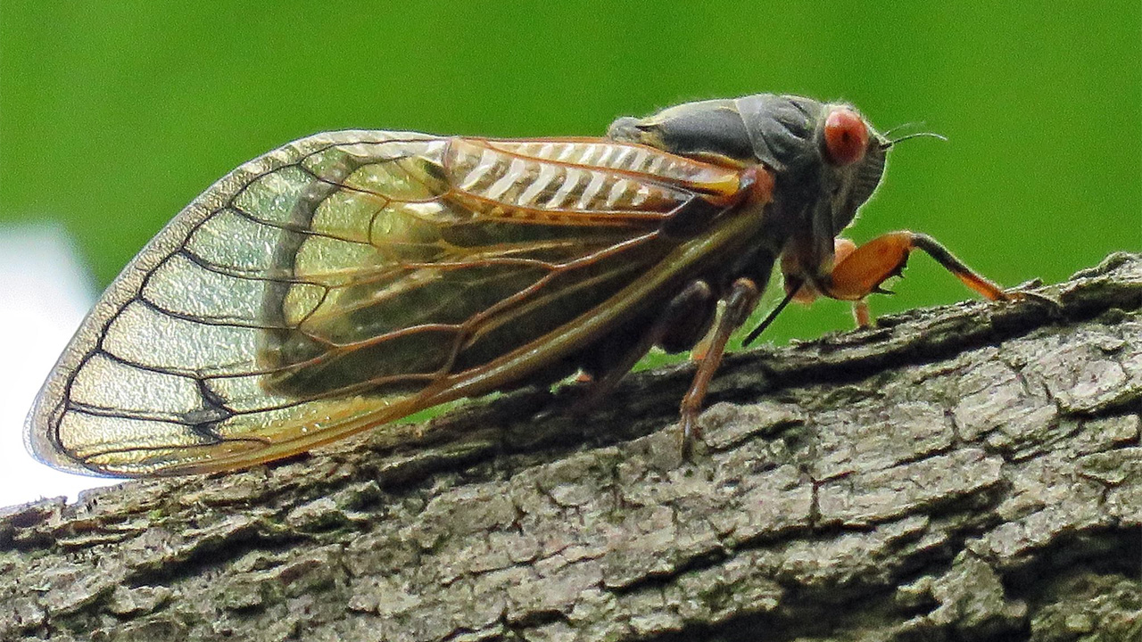 cicadasweb_126681