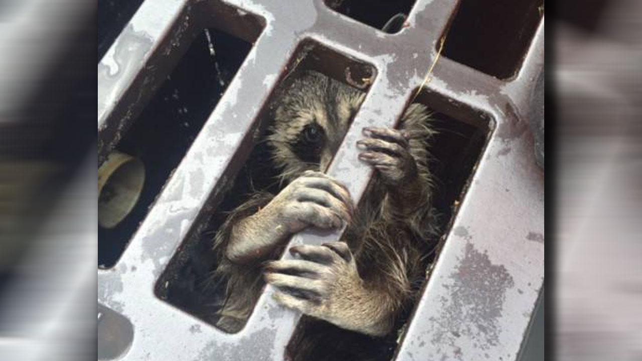raccoonweb_137939