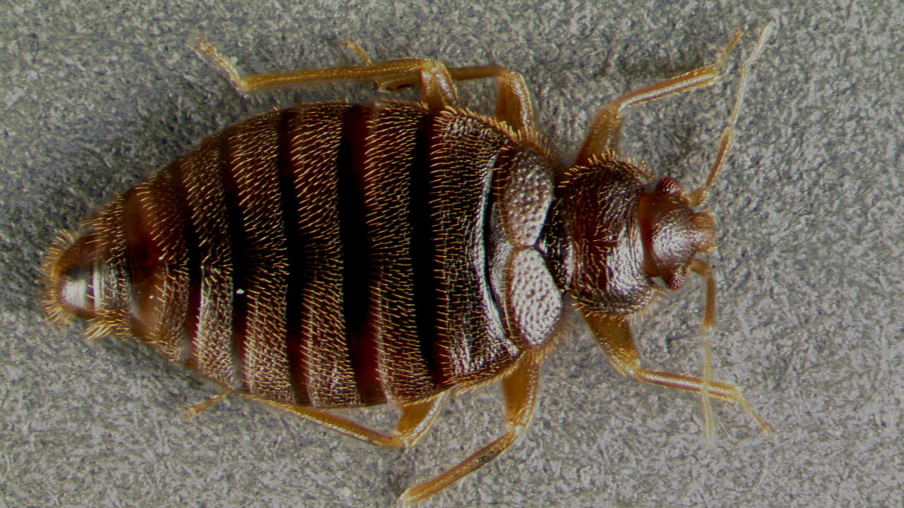 tropical-bed-bug_206500