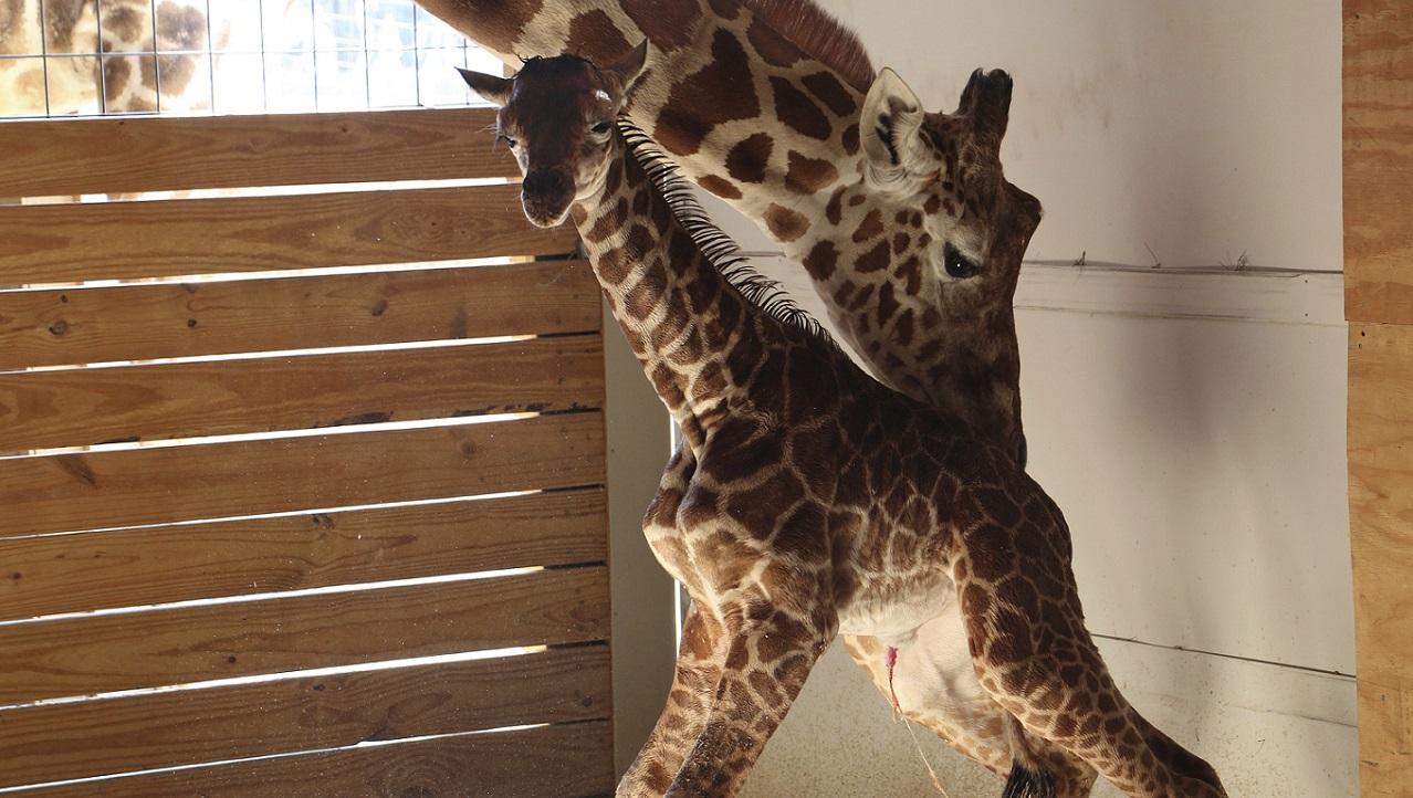 Pregnant Giraffe_288104
