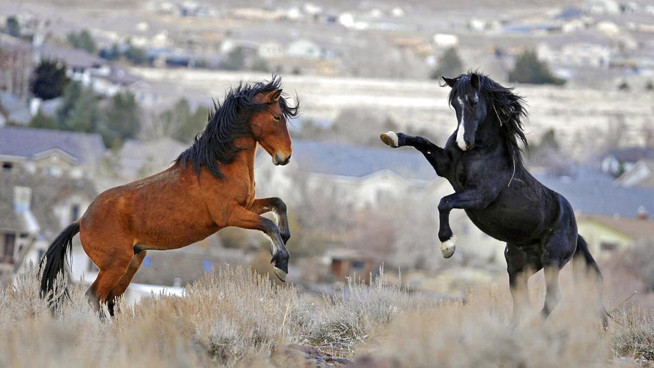 Trump Budget Wild Horses_310567