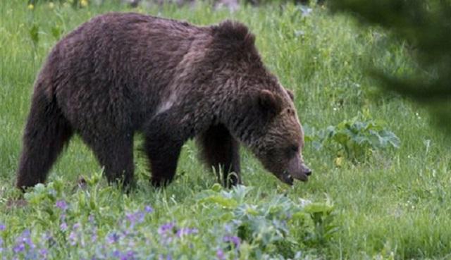 Yellowstone Grizzlies_368178