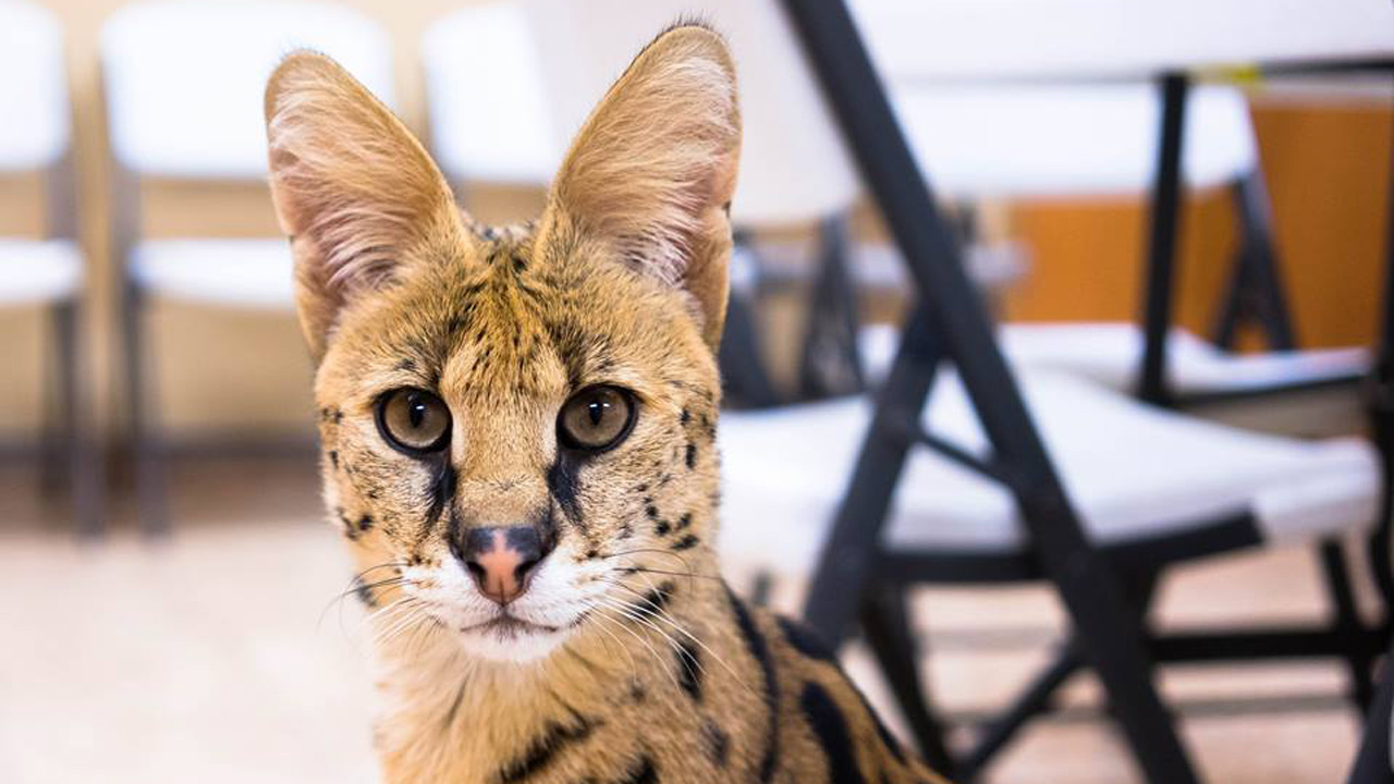 serval kitty_364517