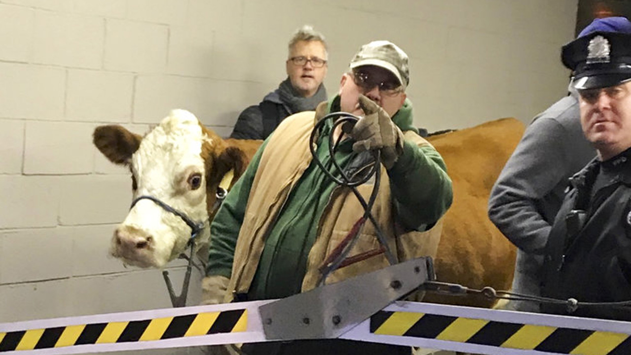 ODD Cow Wanders Interstate_372185