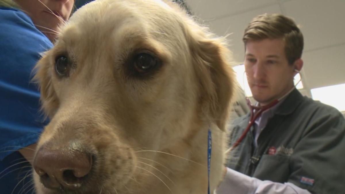 golden-retriever dog at vet_374343