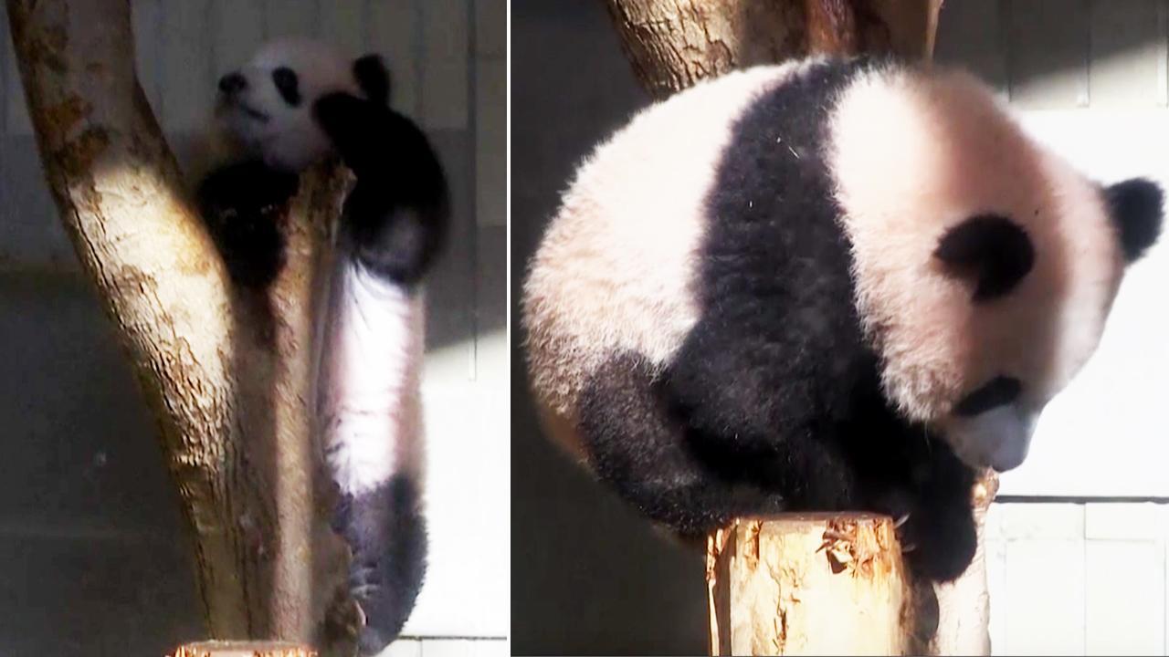 panda_373006