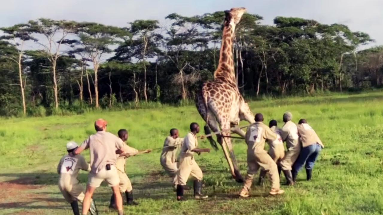 012918-giraffe-1280x720_384390