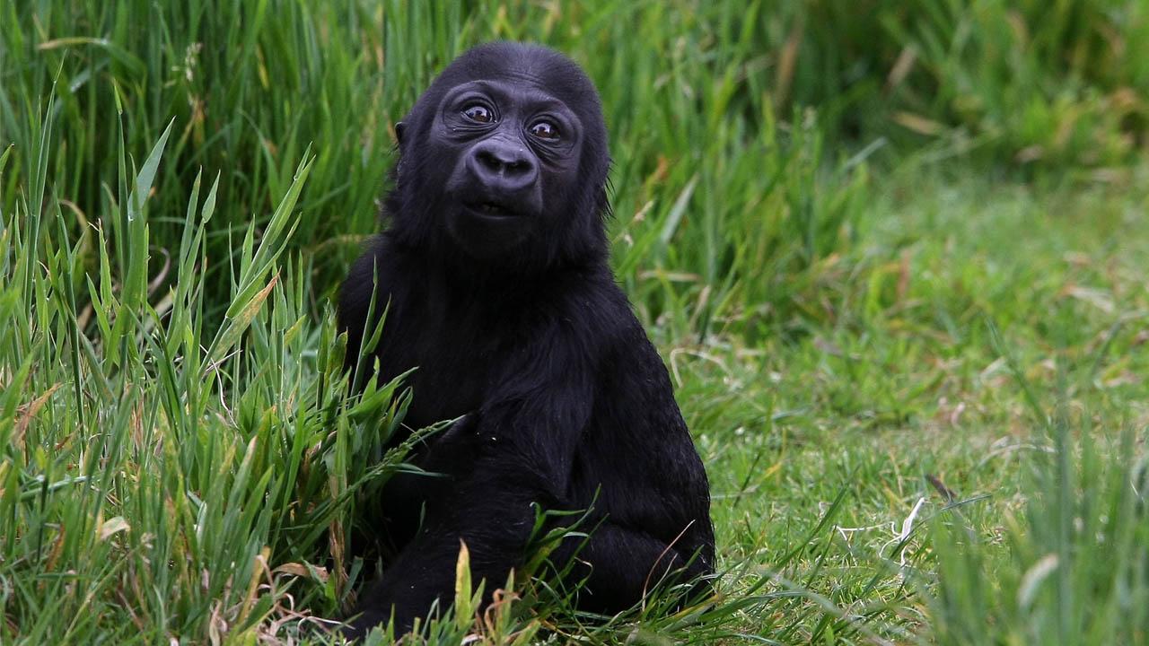 gorilla_377241