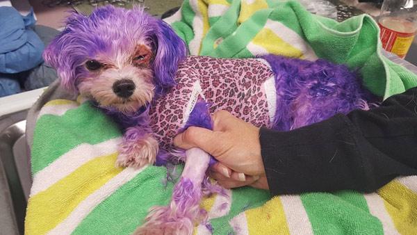 r-dog-hair-dyed-purple-burn_382855