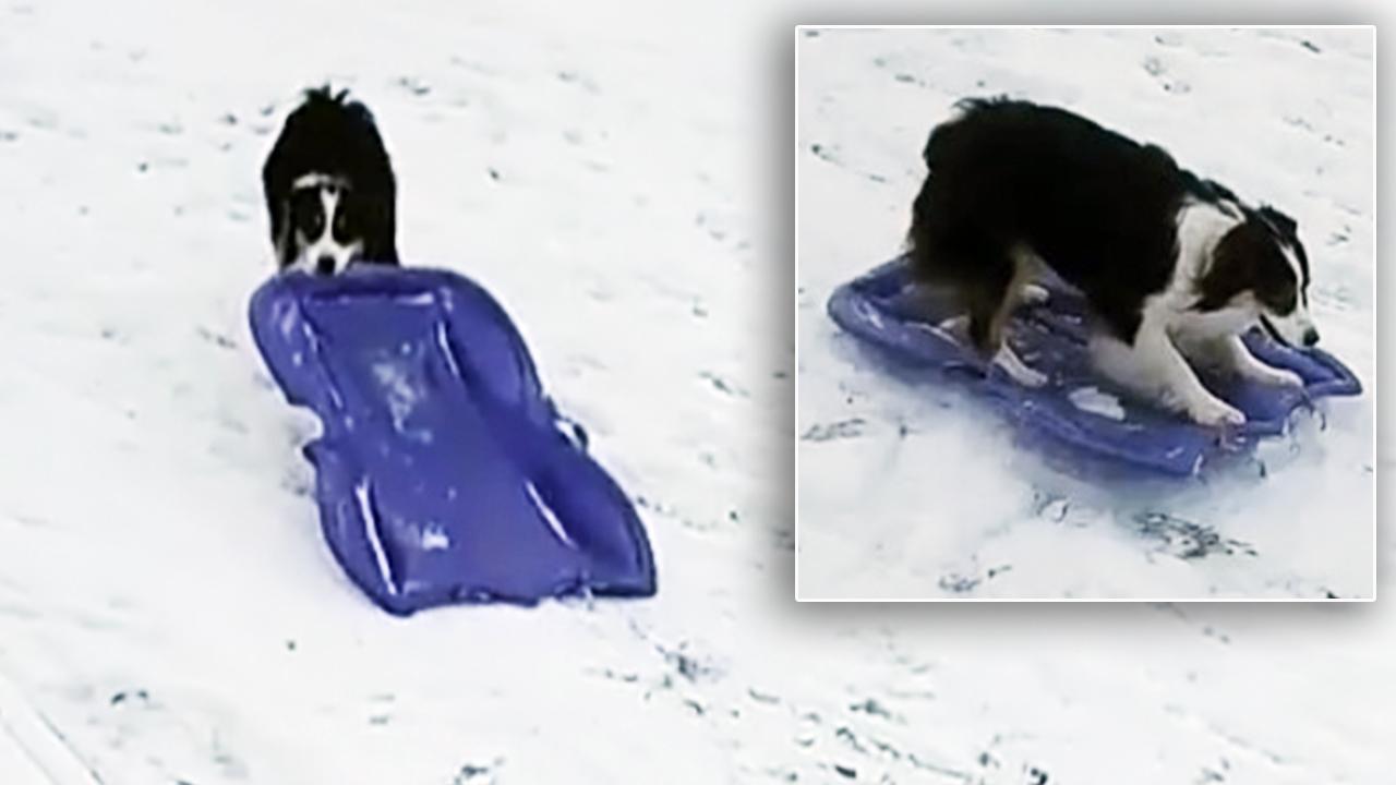 sledding-dog_377176