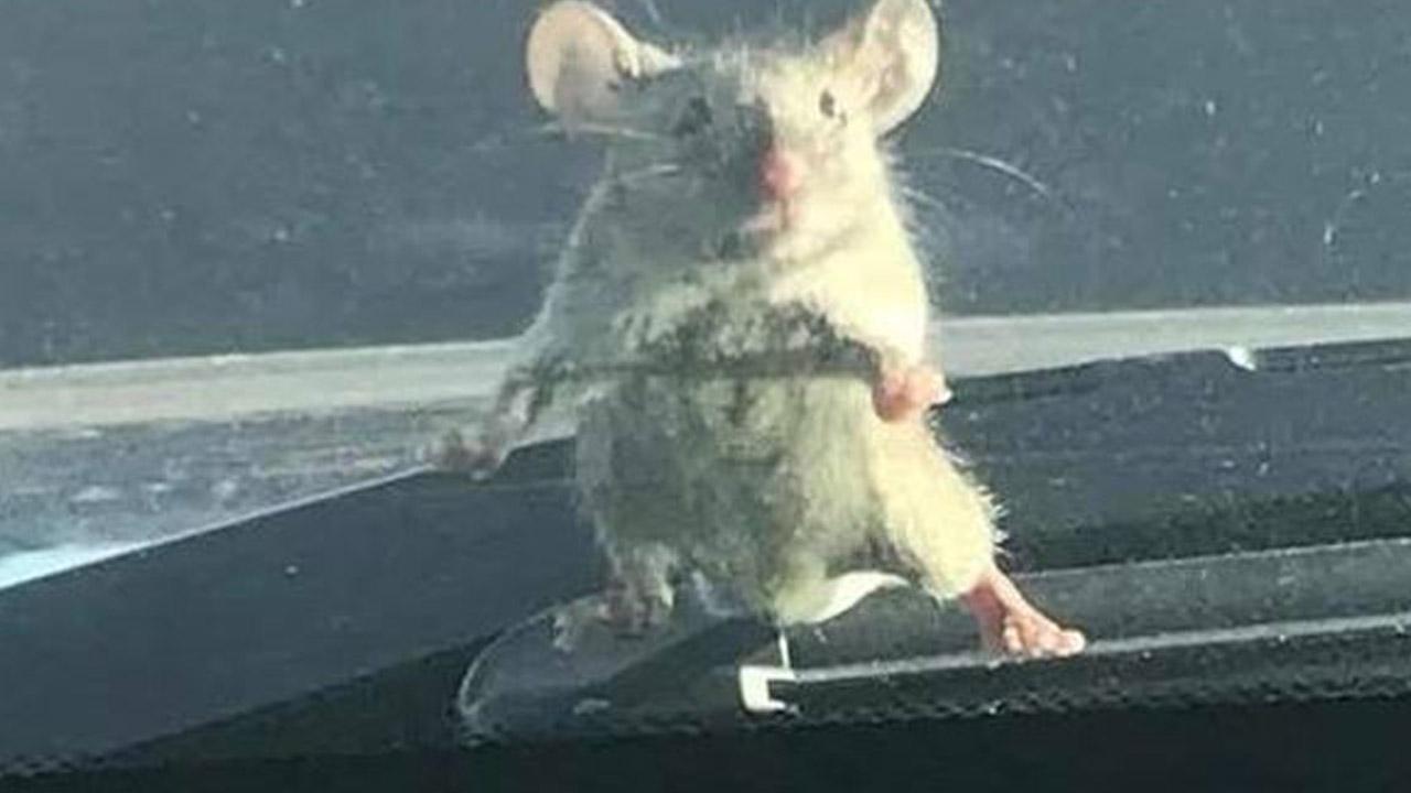 021218-mouse-cop-car-1280x720_391435