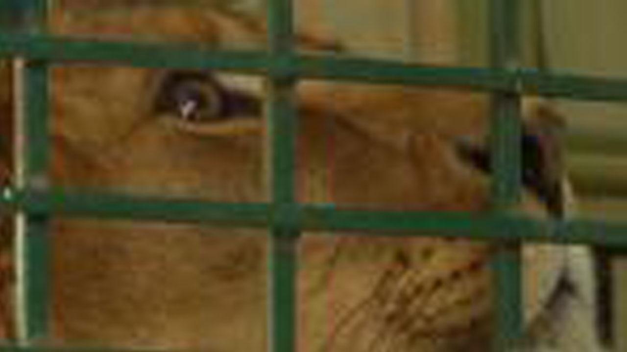 022618-lion-rescued-1280x720_397337