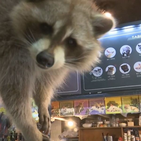 Raccoon Cafe_390848