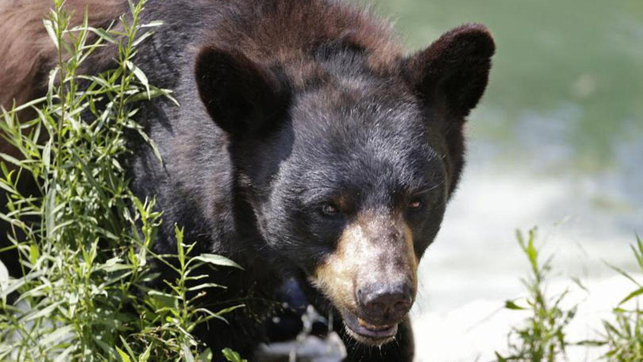 black_bear_t810_1526052349962.jpg