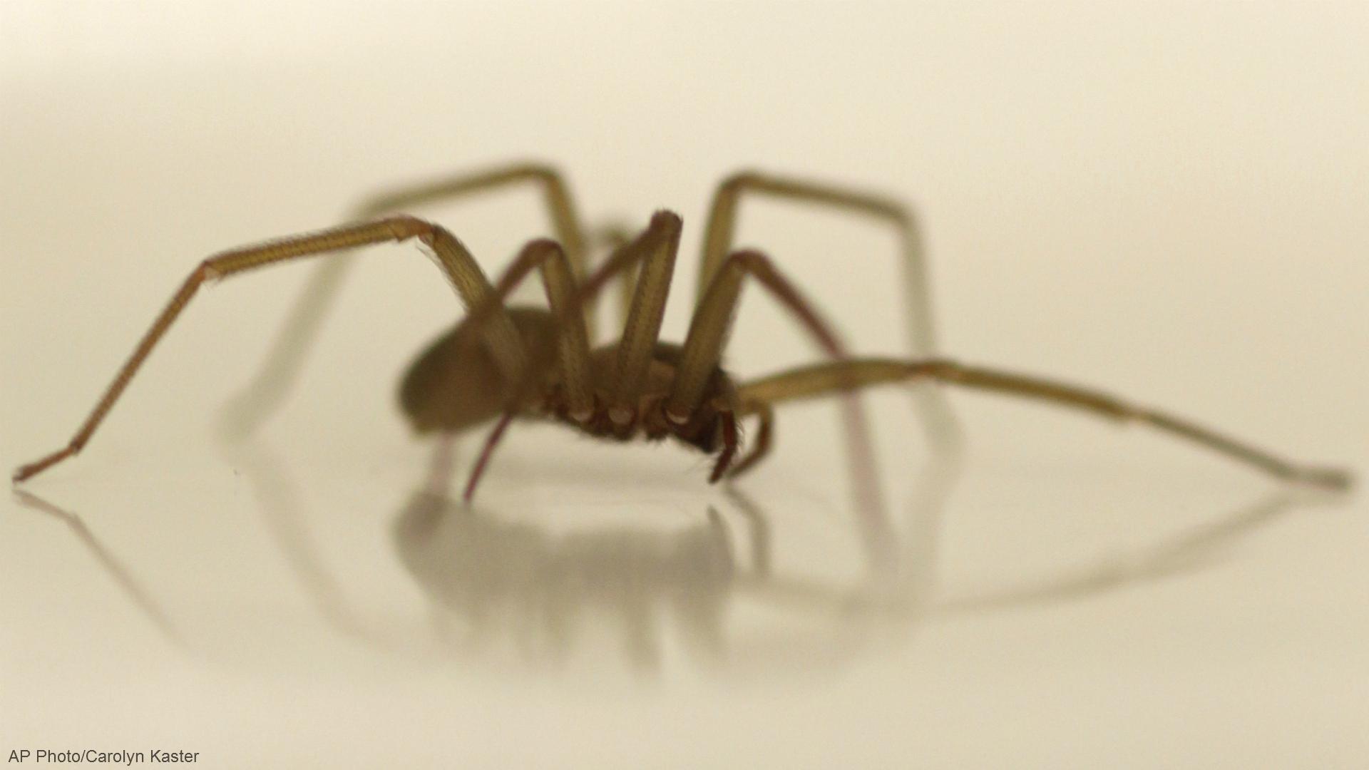 Be Vigilant Ohio Man Bit By Venomous Brown Recluse Spider Nbc4 Wcmh Tv