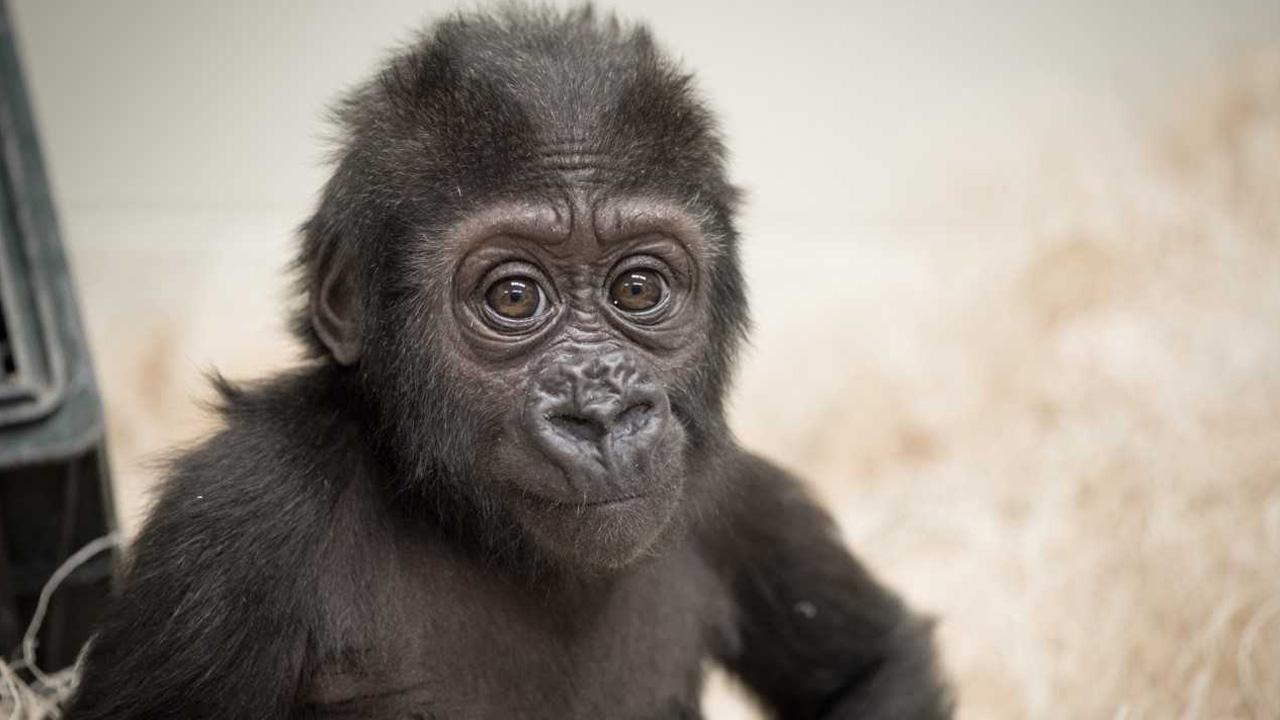 zahra gorilla_1528964304145.jpg.jpg