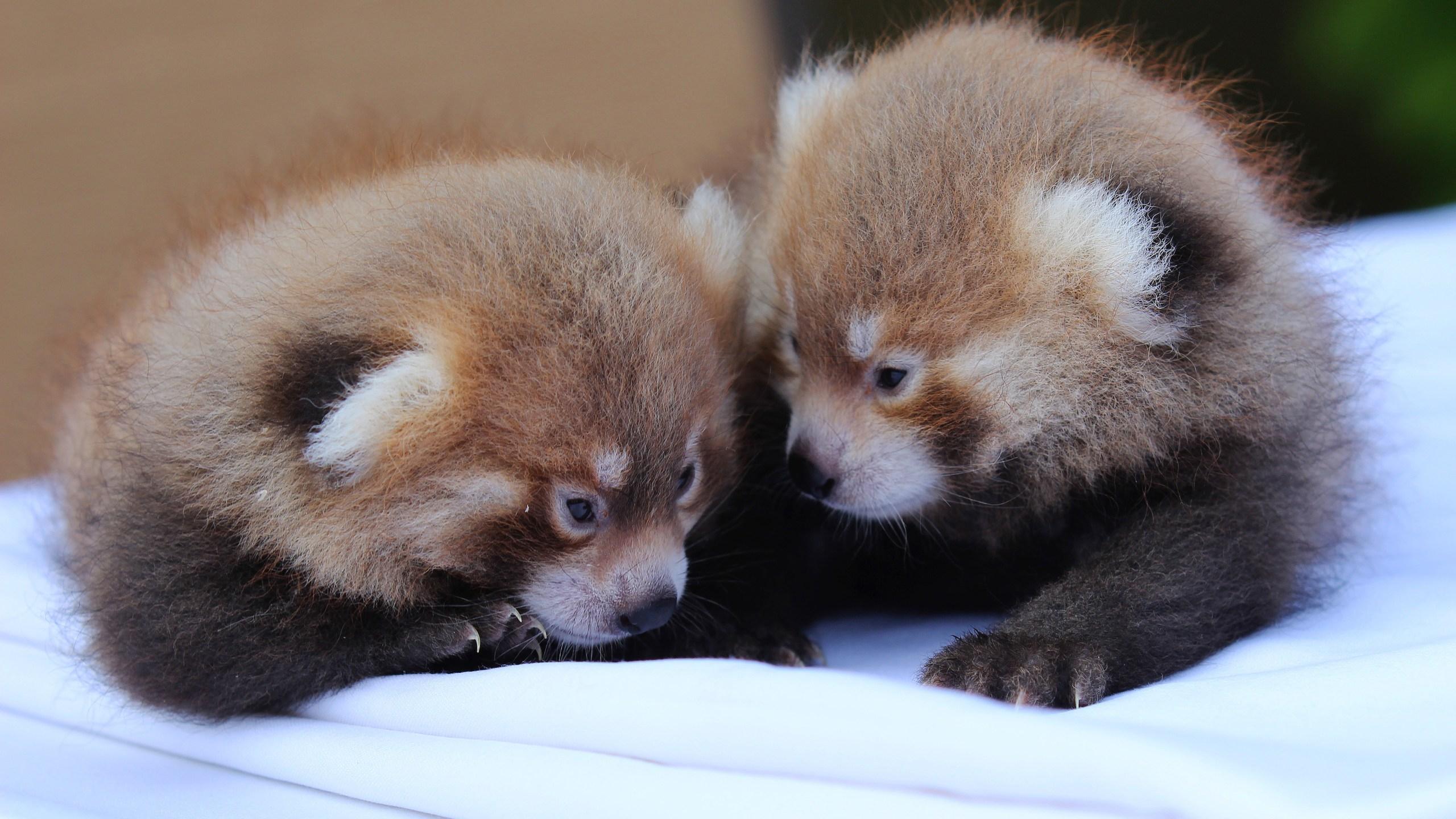 baby red pandas 7-31-18 (3)_1533052258008.jpg-118809342.jpg
