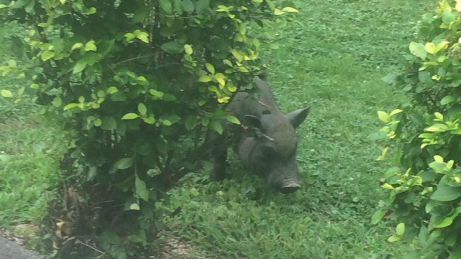 Feral pigs in Beaver Twp.