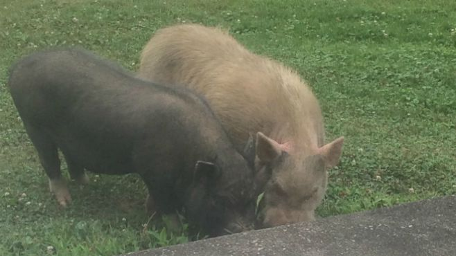 Feral pigs found in Mahoning County.