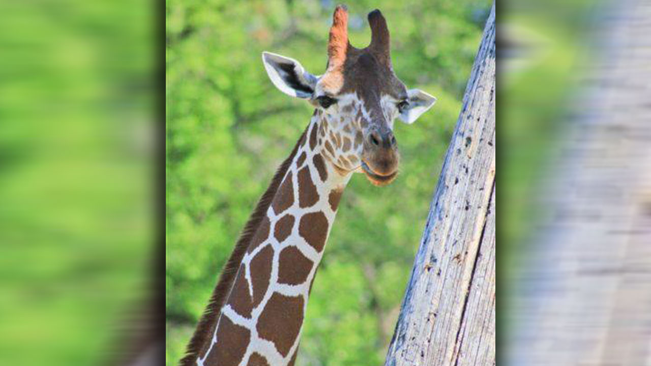 giraffe-death_1531331631403.jpg