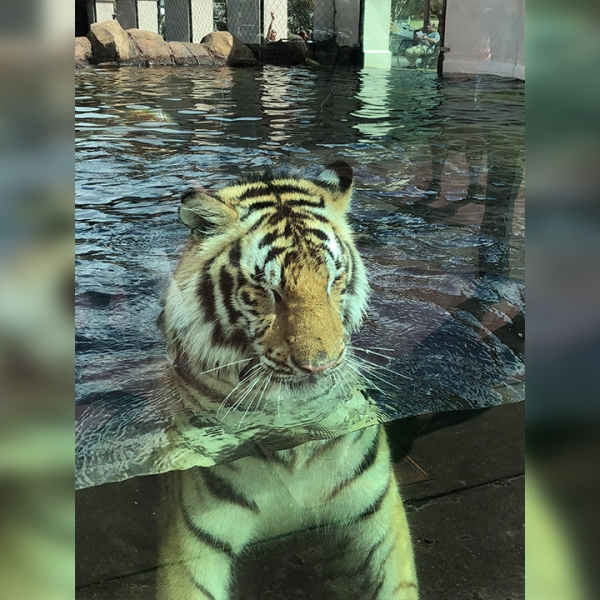 Petition with 35,000+ signatures calls for LSU to stop having live tiger mascot