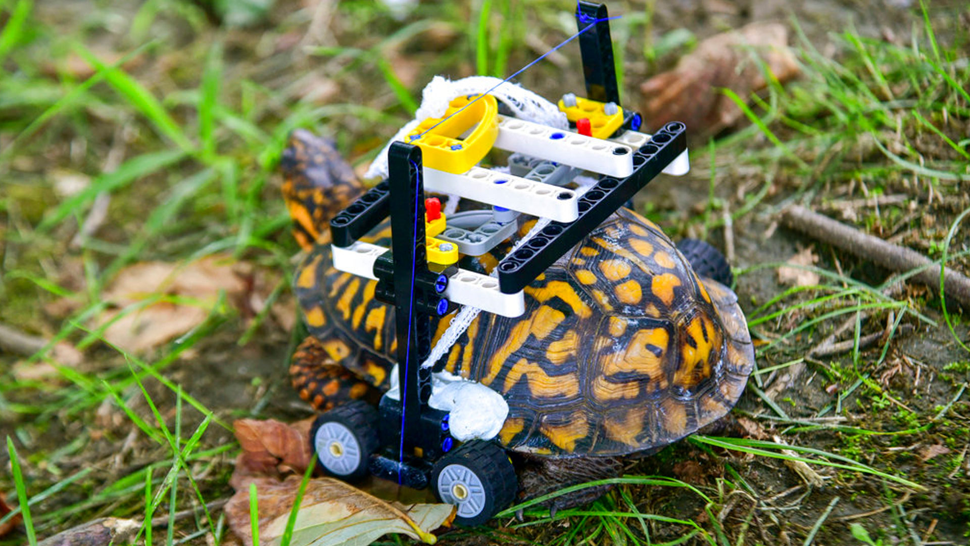 wheelchair-turtle_1538236321094.jpg