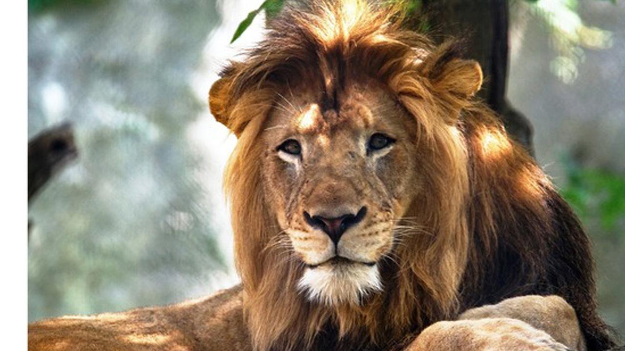 Lion kills lion correct_1539978750512.jpg.jpg
