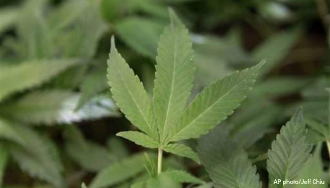 generic marijuana plant generic medical marijuana_1522353734075.jpg-873702558-873702558.jpg