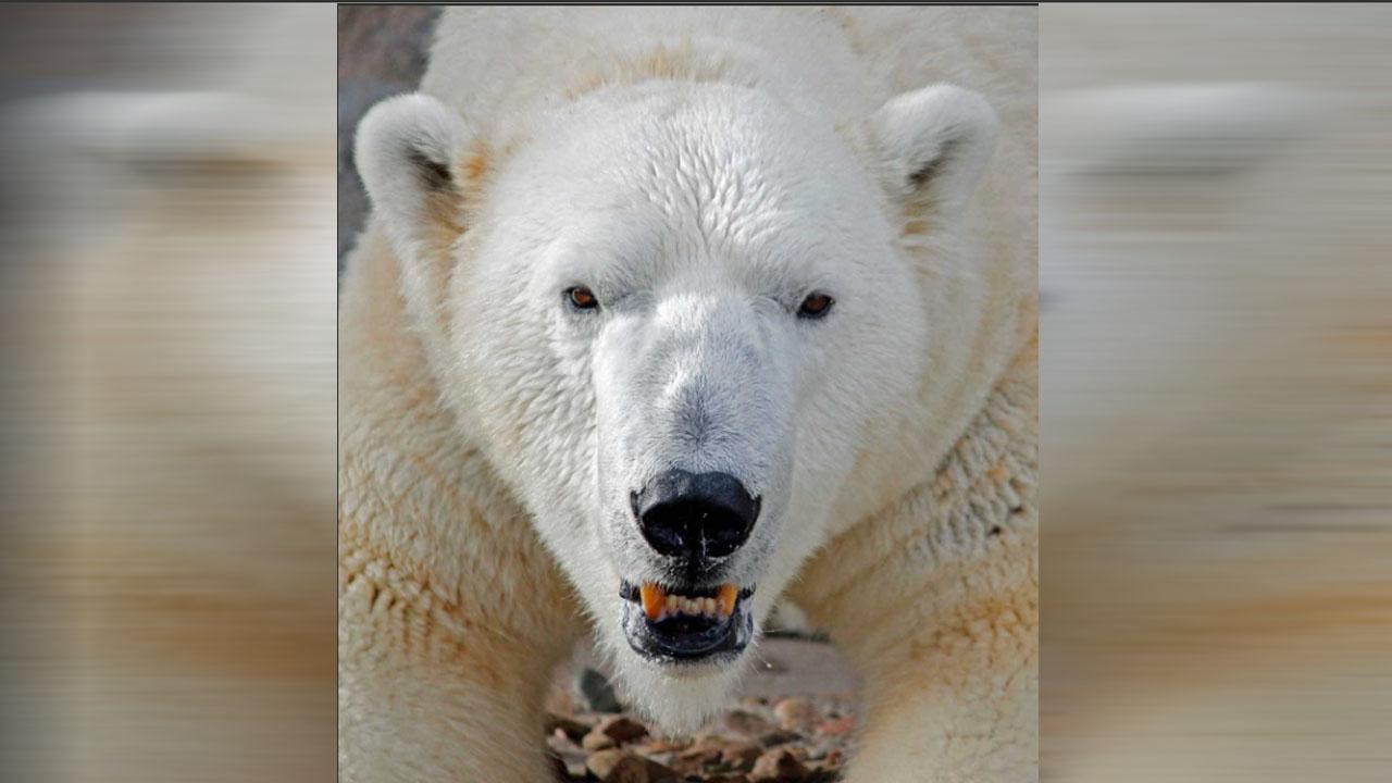 polar bear zoo_1538552768178.jpg.jpg