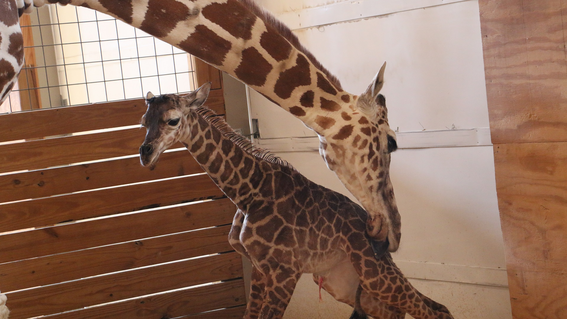 April the Giraffe and her Baby-846652698