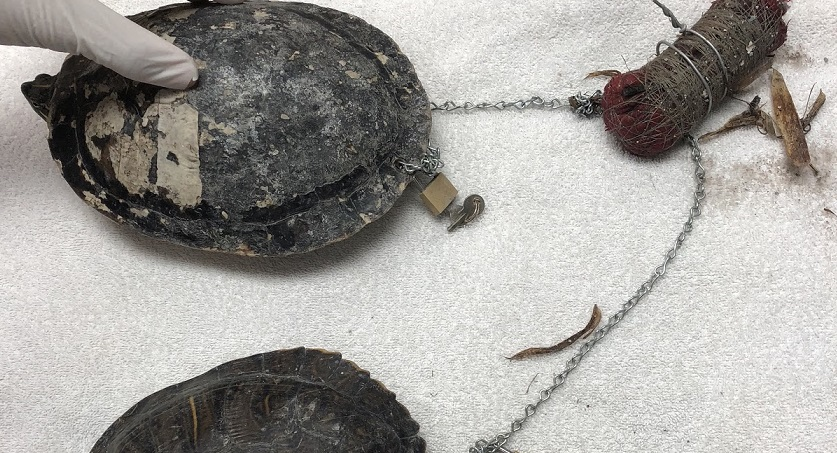 TURTLES CHAINED TOGETHER ON BEACH_1549643929556.jpg-846652698.jpg