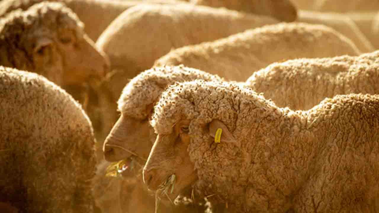sheep_1553936718463.jpg