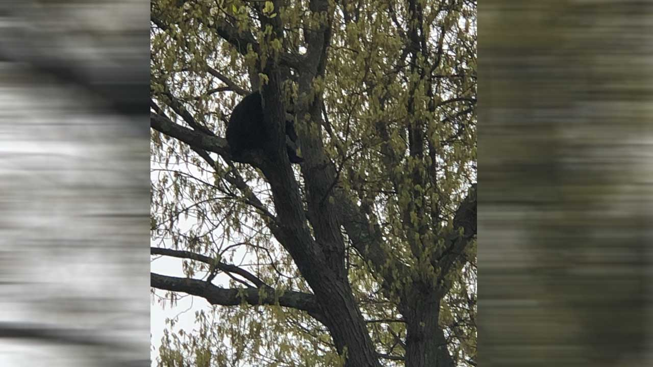 bear in tree_1558103337391.jpg.jpg
