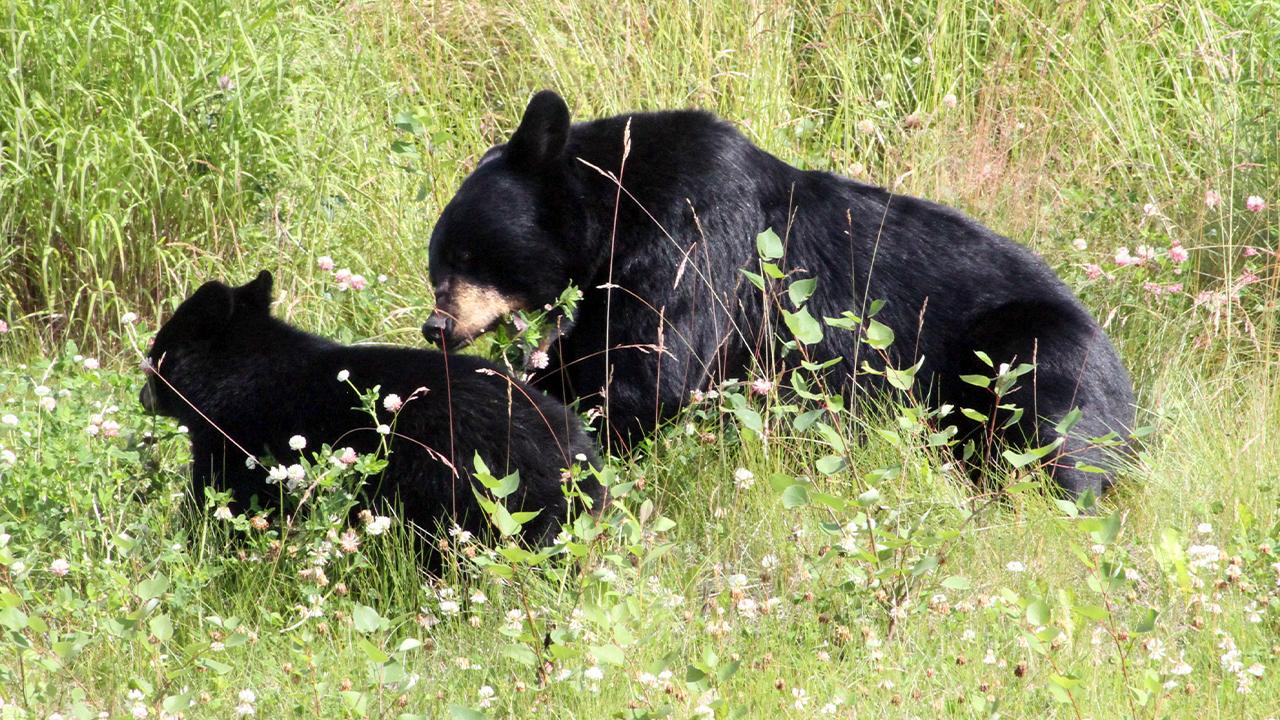 black bears generic-846652698