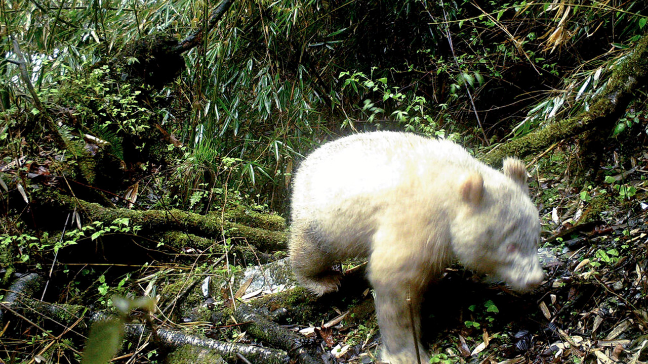 white panda_1559046300030.jpg.jpg