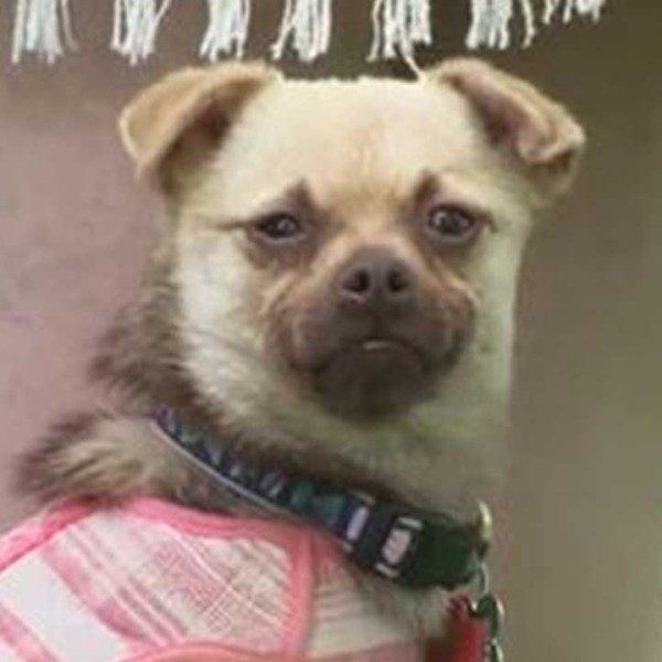 Max's Mission: 2-year-old Chihuahua mix needs a forever home