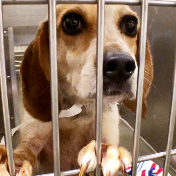 Frankin County Dog Shelter and Adoption Center beagle