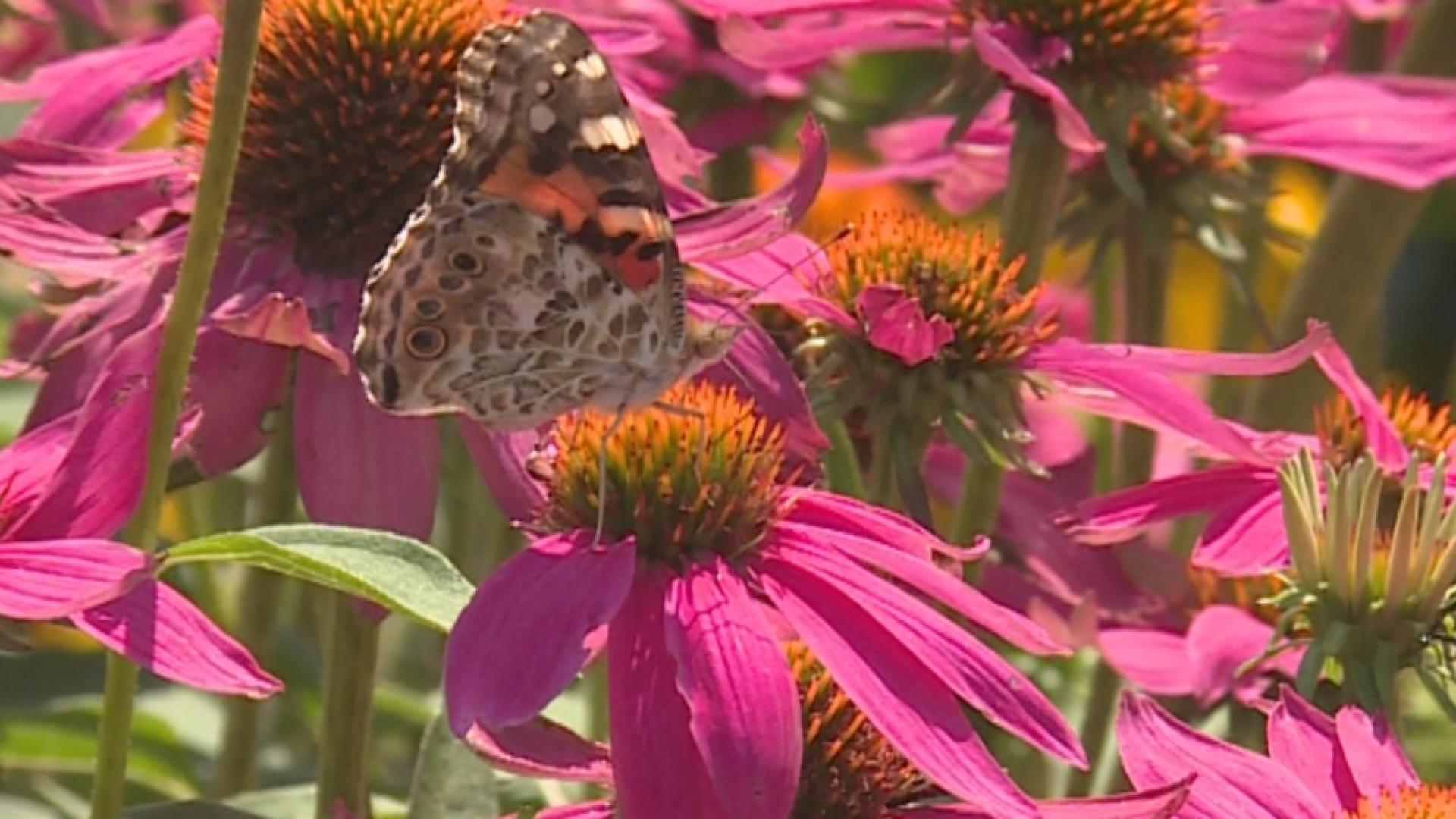 Butterfly invasion has farmers worried about crops   NBC4 WCMH-TV