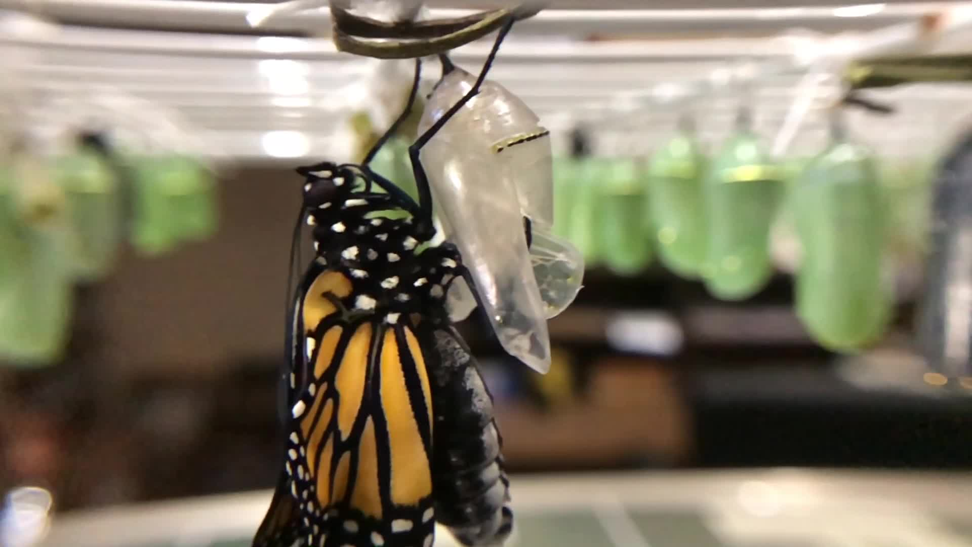 Coming out of their shells, er um, chrysalis | NBC4 WCMH-TV