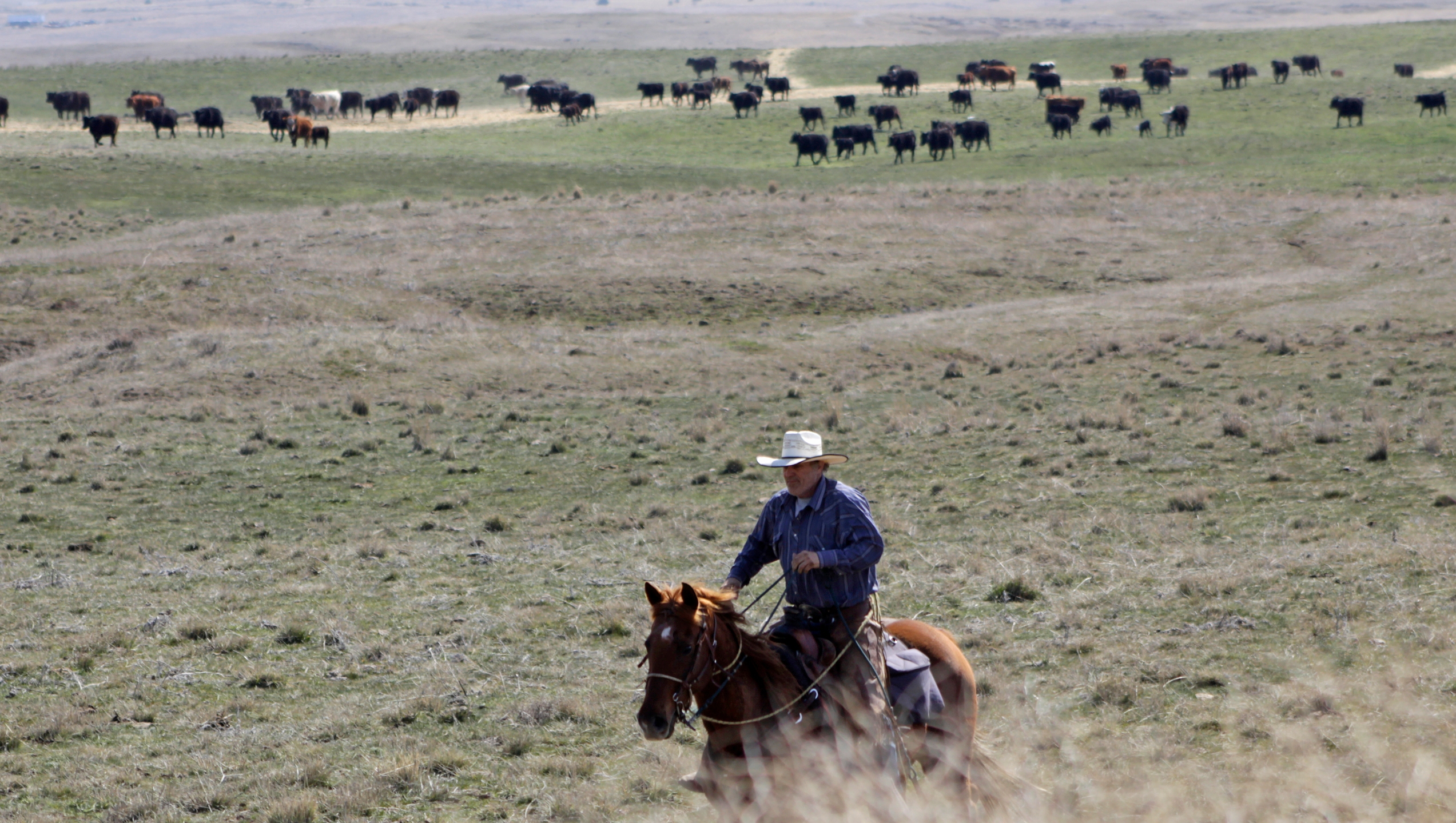 Cattle rancher Joe Whitesell rides his horse in a field near Dufur, Oregon, as he helps a friend herd cattle. Tiny towns tucked into Oregon's windswept plains and cattle ranches miles from anywhere in South Dakota might not have had a single case of the new coronavirus yet, but their residents fear the spread of the disease to areas with scarce medical resources, the social isolation that comes when the only diner in town closes its doors and the economic free fall that's already hitting them hard. (AP Photo/Gillian Flaccus)