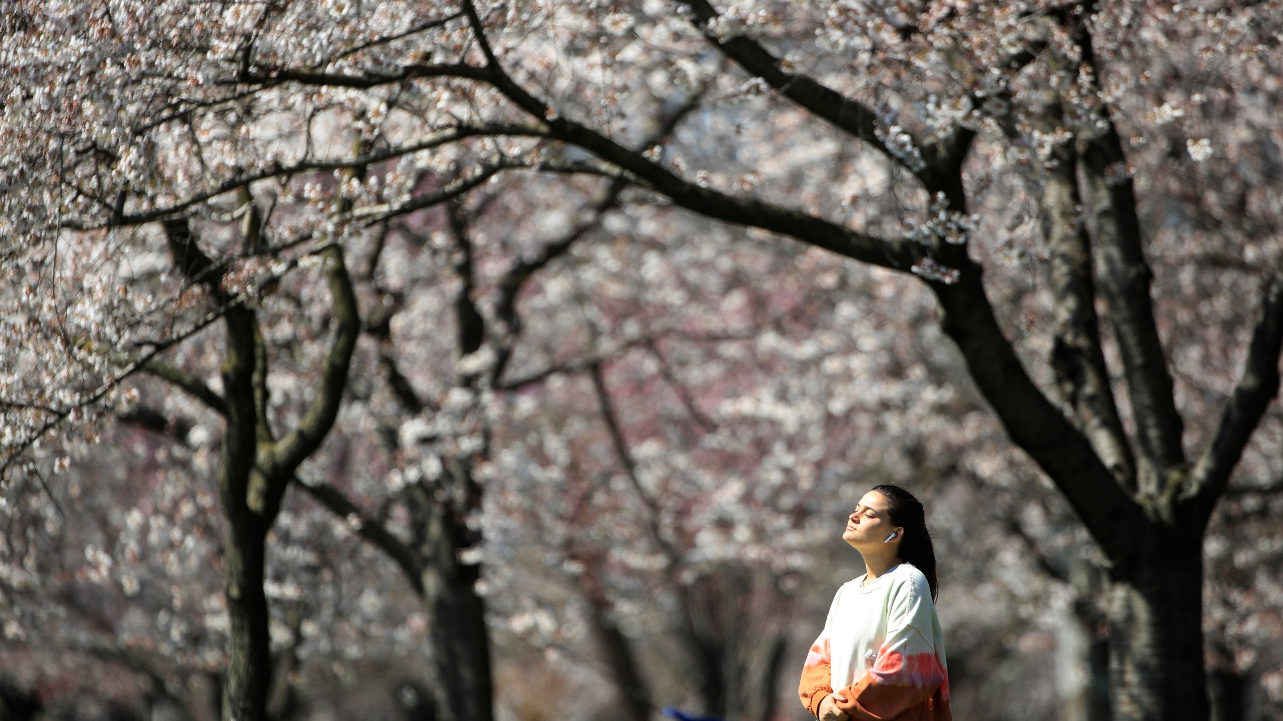 A person takes in the afternoon sun amid the cherry blossoms along Kelly Drive in Philadelphia. For millions of seasonal allergy sufferers, the annual onset of watery eyes and scratchy throats is bumping up against the global spread of a new virus that produces its own constellation of respiratory symptoms. That's causing angst for people who suffer from hay fever and are now asking themselves whether their symptoms are related to their allergies or the new coronavirus. (AP Photo/Matt Rourke)