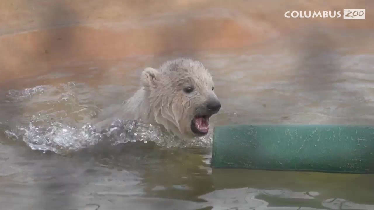 Polar Bear Cub Update Columbus Zoo S New Cub Is Learning To Swim Nbc4 Wcmh Tv