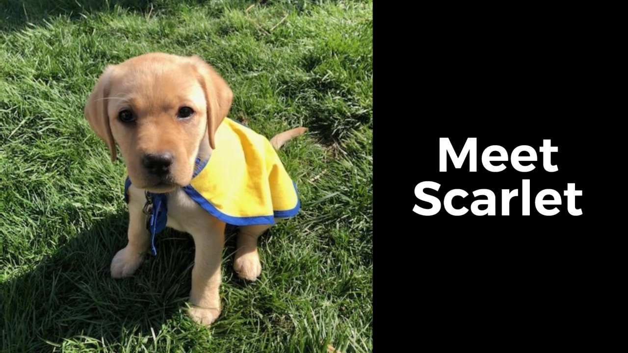 Nbc4 S Puppy With A Purpose Scarlet Nbc4 Wcmh Tv