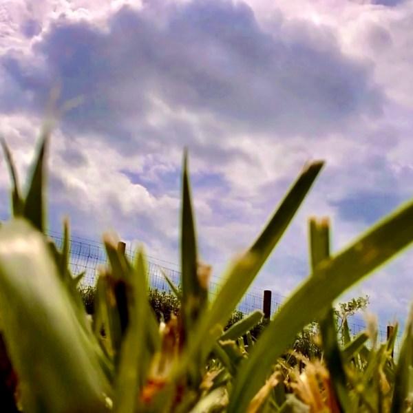grass tree pollen