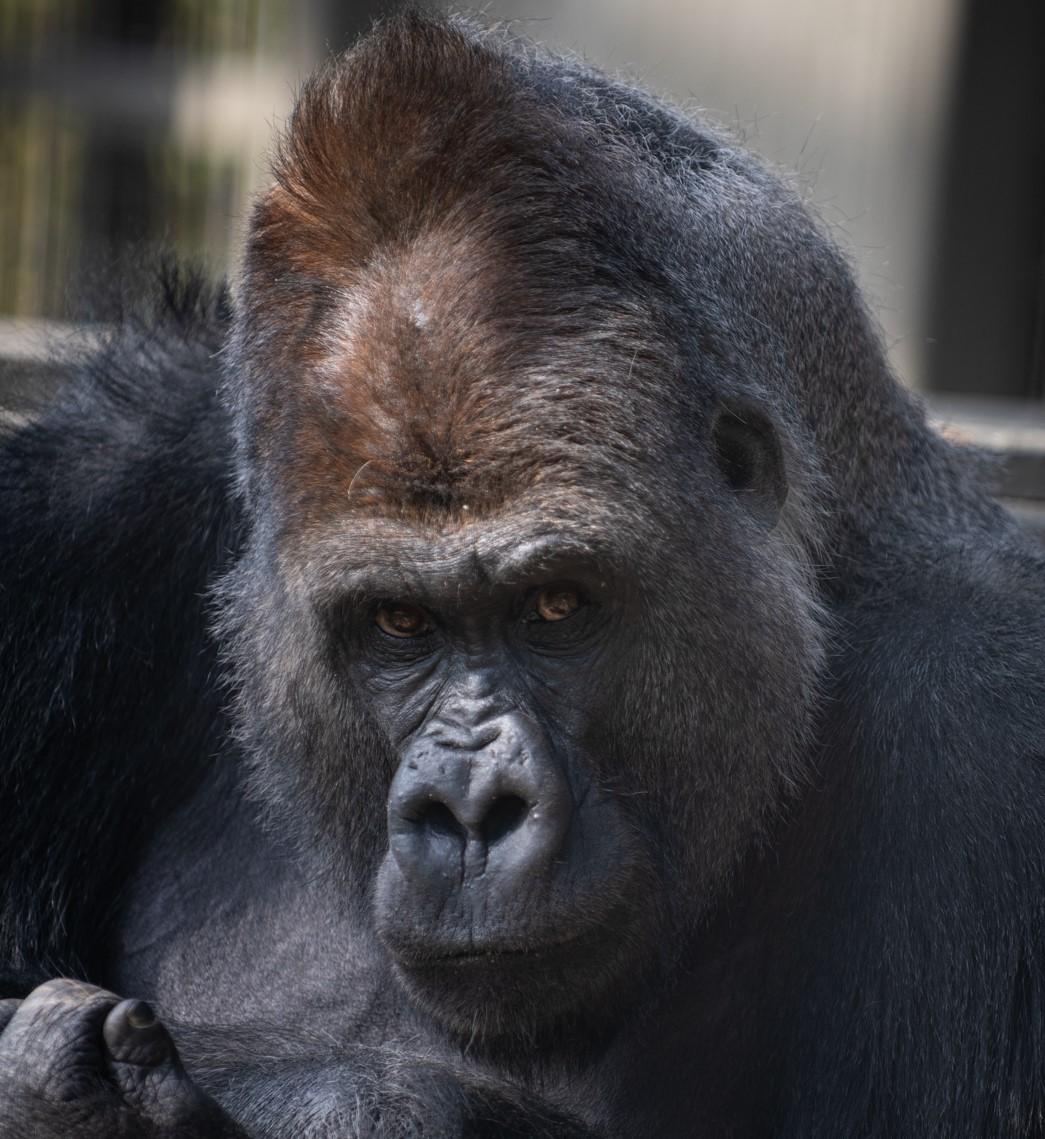 Godspeed Gorillas Columbus Zoo Prepares To Bid Adieu To Great Ape Family Nbc4 Wcmh Tv