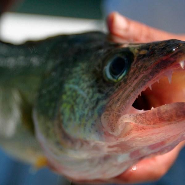 walleye fish ohio